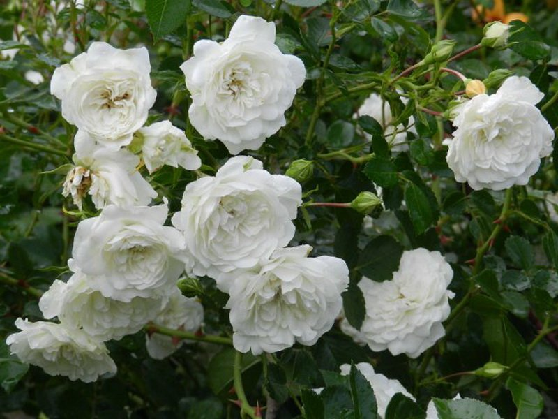 Цветы розы «Свони» на фото