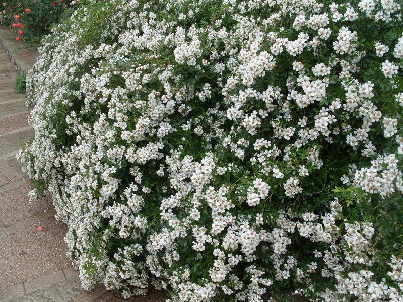 Розы почвопокровные «Нозоми» на фото