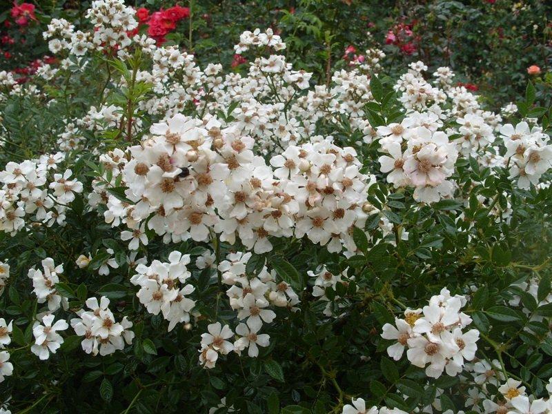 Цветы розы «Нозоми» на фото