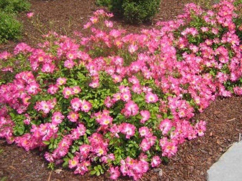 Розы почвопокровные «Соммервинд» на фото