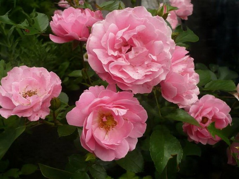 Цветы розы «Соммервинд» на фото