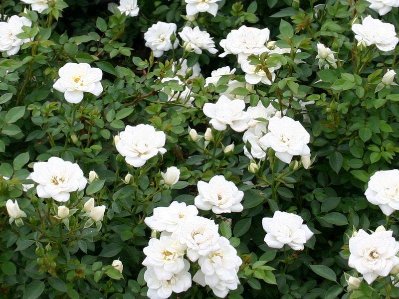 Розы почвопокровные «Кент» на фото