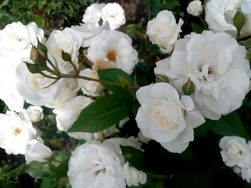 Цветы розы «Кент» на фото