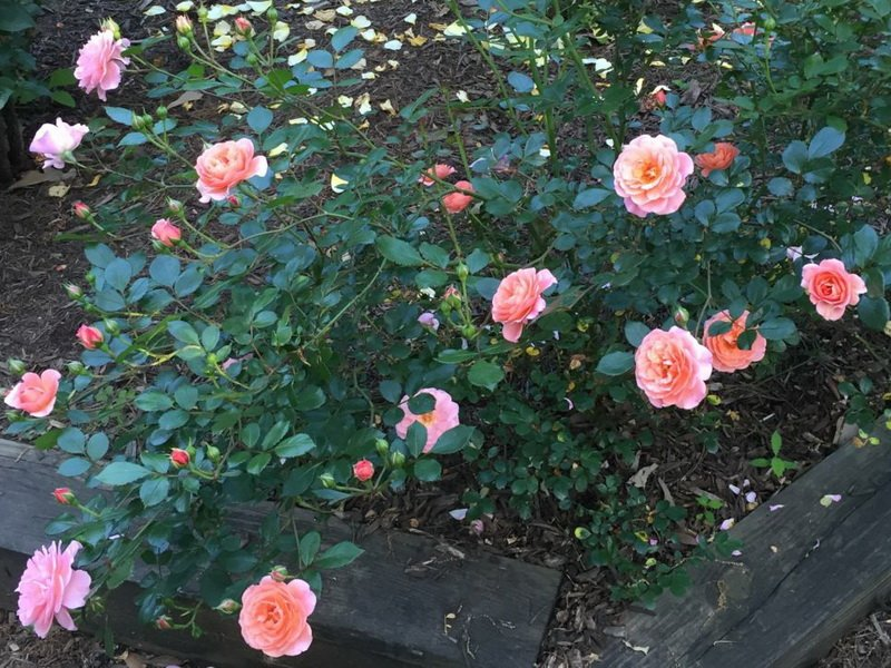 Роза «Розмари Роз» на фото