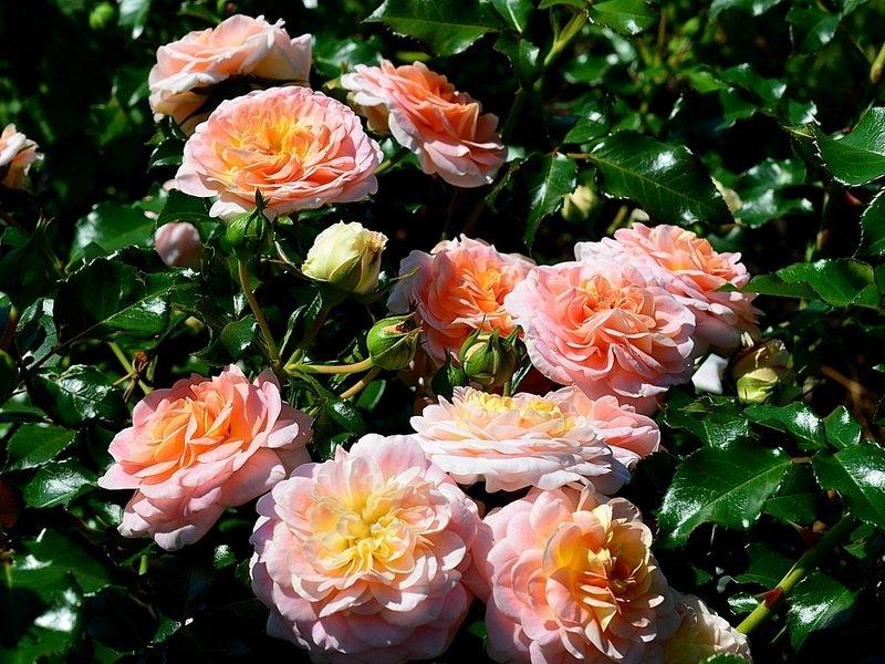 Розы «Концерто» на фото