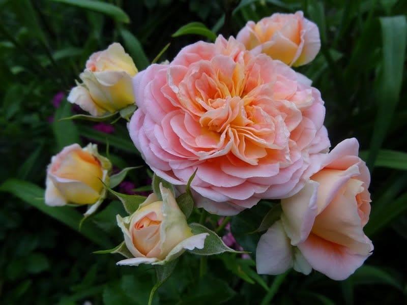 Цветки в роспуске диаметром до 8-10 см, махровые, лепестки охристо-розовые (фото)