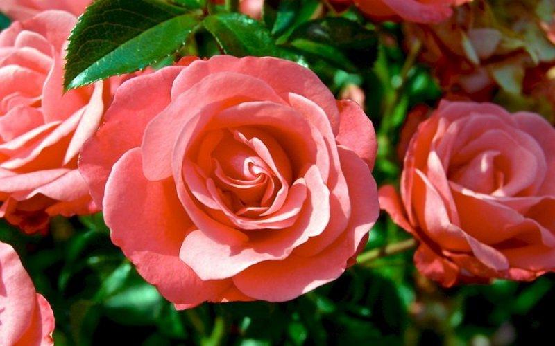 Самые лучшие сорта роз флорибунда для Подмосковья фото