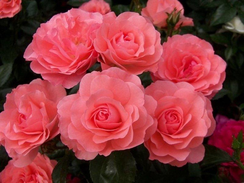 У «Мэни хэппи ретурнс» роз цветки душистые, крупные, с румяно-розовыми лепестками (фото)