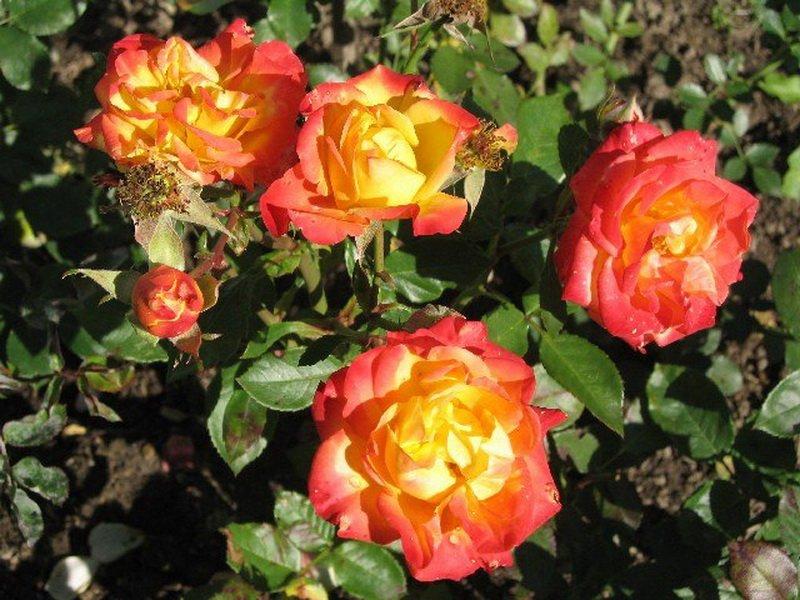 Роза «Самба» на фото