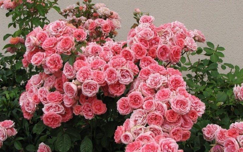 Описание группы роз флорибунда