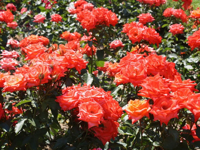 Роза «Зорина» на фото