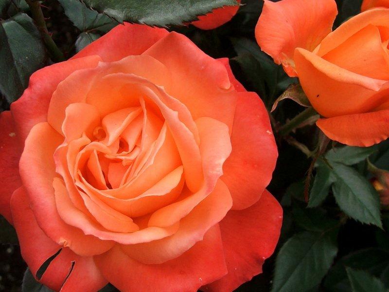 Цветки оранжево-красные, с бархатистым оттенком и золотисто-желтым глазком (фото)