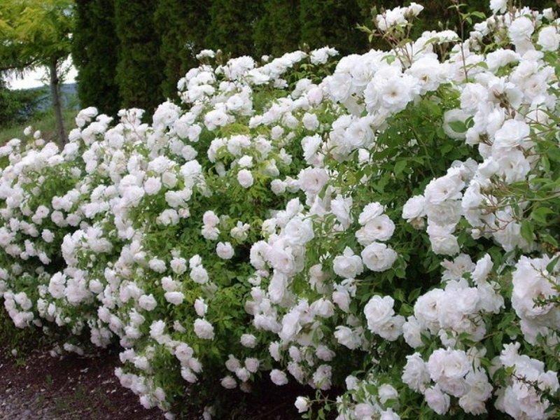 Роза «Айсберг» на фото