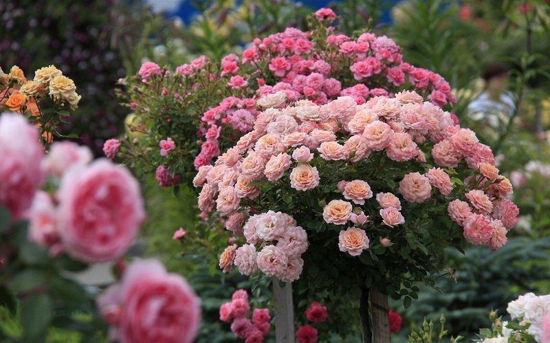 Характеристика групп плетистых роз