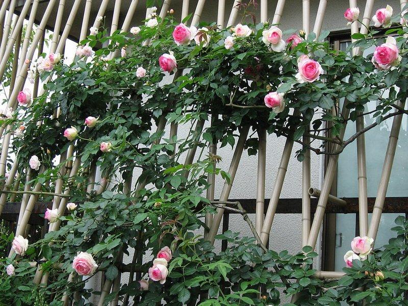 Роза плетистая фото
