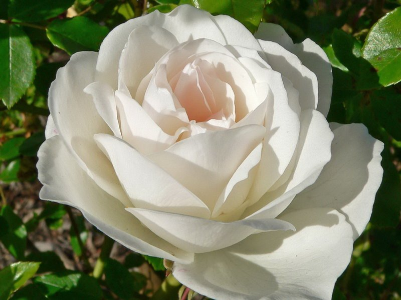 Цветок розы «Айсберг» на фото