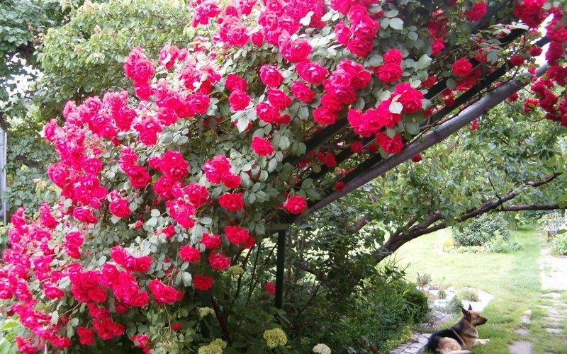 Лучшие сорта плетистых роз для Подмосковья и средней полосы: фото и названия