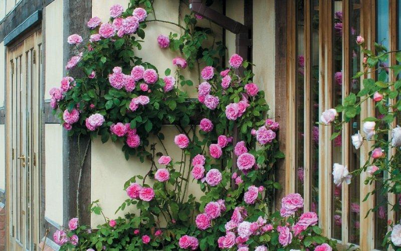Вьющаяся роза фото и название