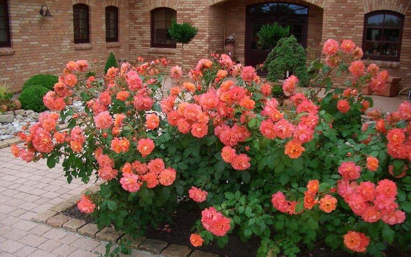 Роза «Вестерланд» на фото