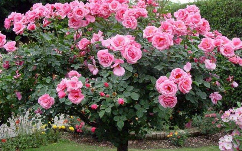 Как вырастить и ухаживать за штамбовыми розами (с видео)