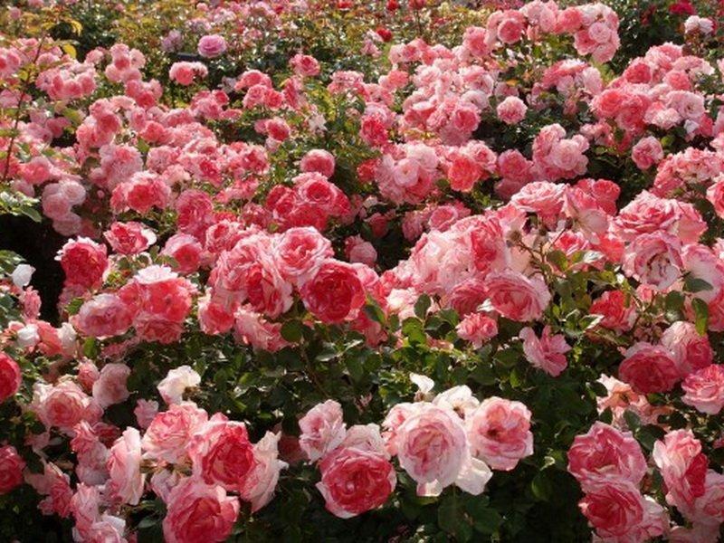 Роза «Валентин нерт» на фото