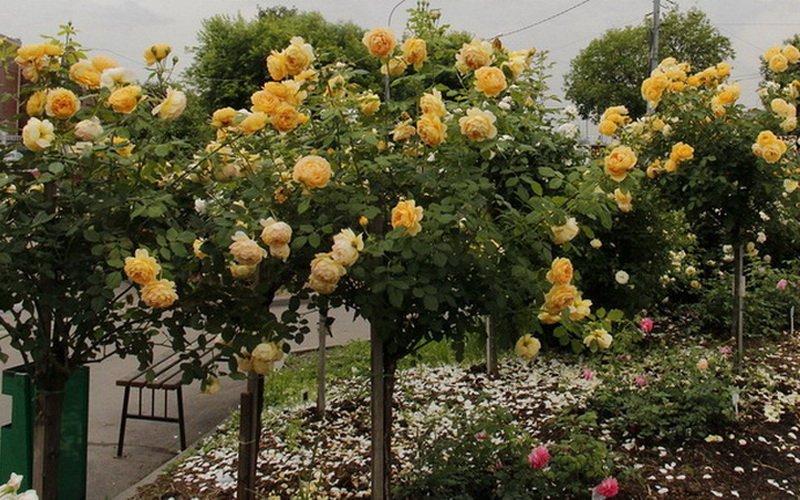 Штамбовые розы в ландшафтном дизайне сада (с фото)