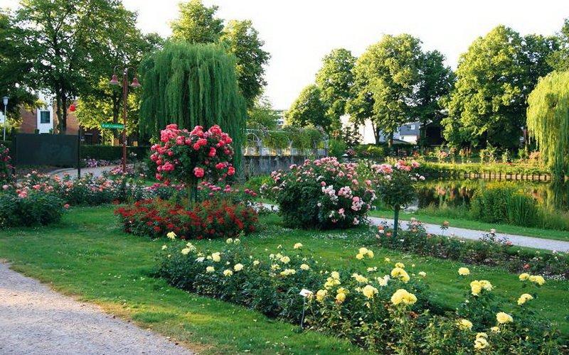 Штамбовые розы в ландшафтном дизайне сада (с фото) фото