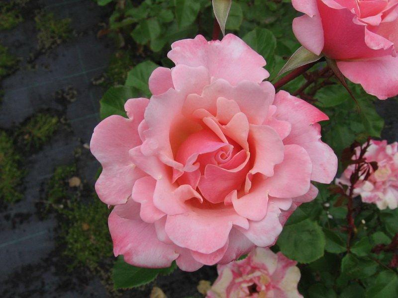 Цветки состоят из 20 лепестков — розовых с кремовым, у основания светло-красных на фото