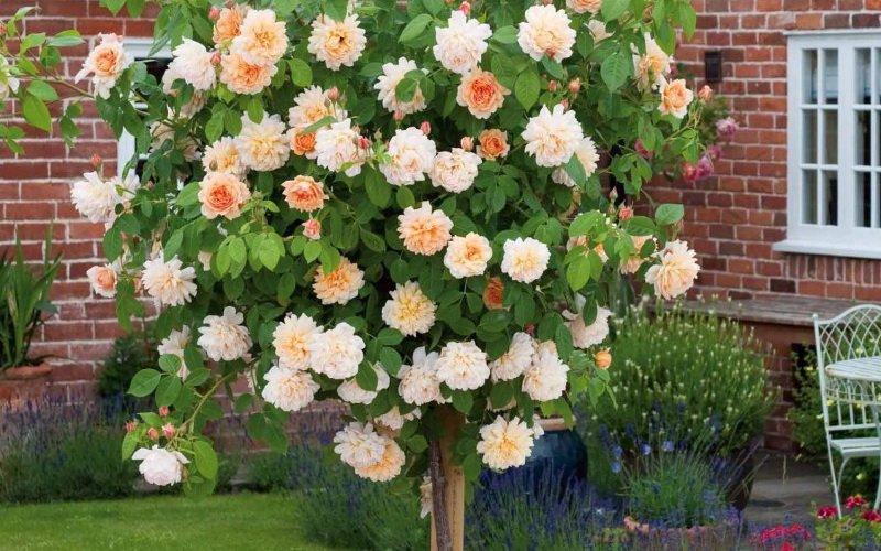 Самые красивые сорта штамбовых роз (с фото)