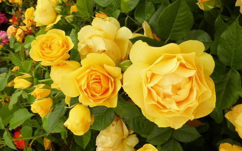 Самые лучшие сорта роз флорибунда для Подмосковья
