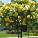 Штамбовые розы 88 фото как их вырастить и правильно укрыть на зиму Посадка и уход прививки обзор сортов Свани и Крокус Роуз