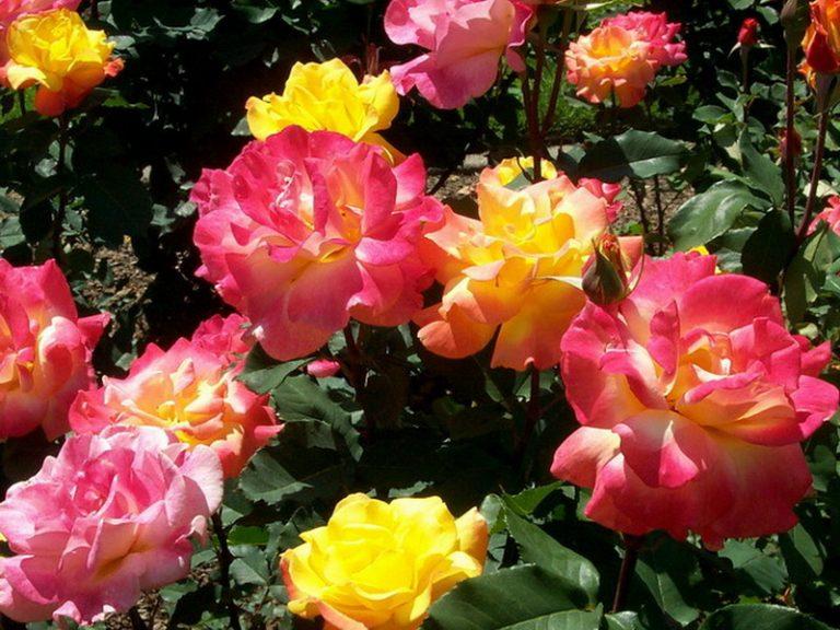 мамба фото и описание роза