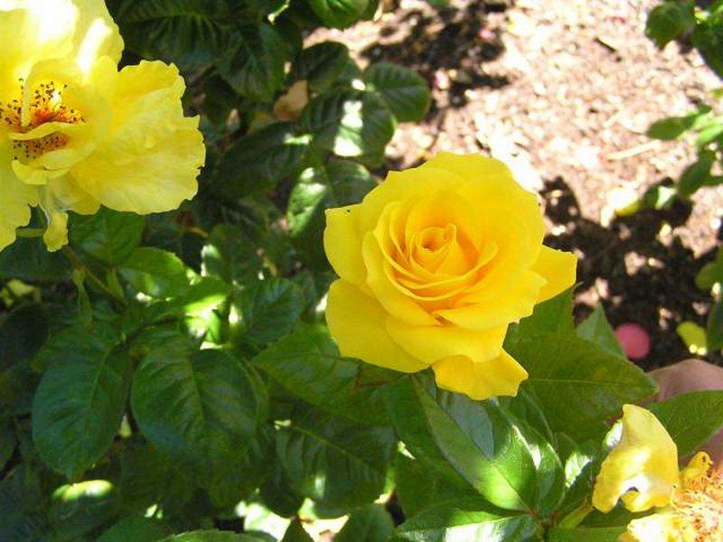 У сорта «Голден Веддинг» роз флорибунда листва темно-зеленая (фото)