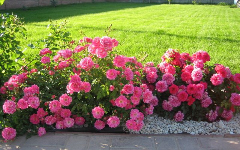 Группы почвопокровных роз в ландшафтном дизайне (с фото)