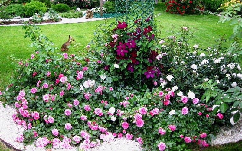 Розы почвопокровные в саду (фото)