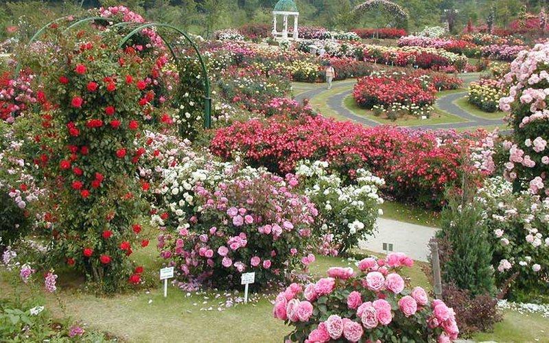 Розы почвопокровные в парке (фото)