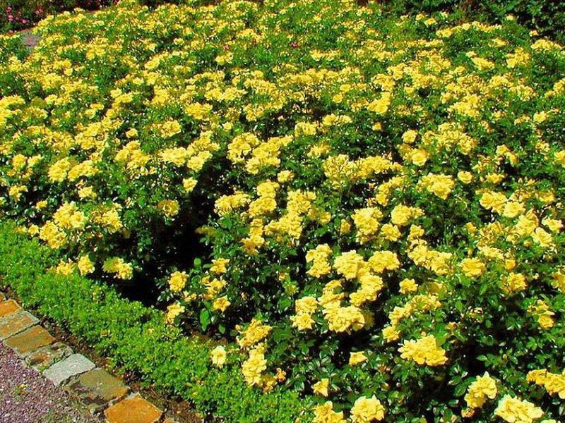 Розы почвопокровные: «Еллоу Флеуретт» на фото