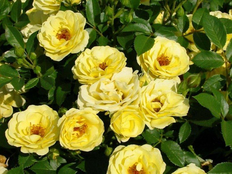 Цветки желтые, с золотистыми тычинками на фото