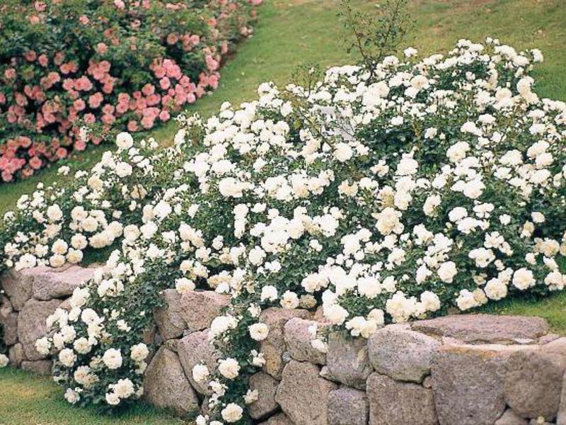 Розы почвопокровные «Си Фоам» на фото