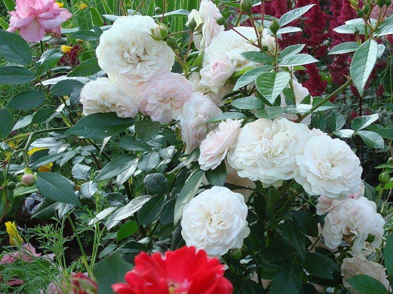 Душистые белые цветки, с нежным румянцем (фото)