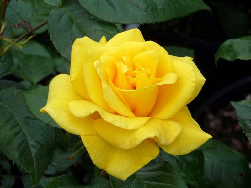 Сорт «Голден Веддинг»  с желтыми крупными слабодушистыми цветками (фото)