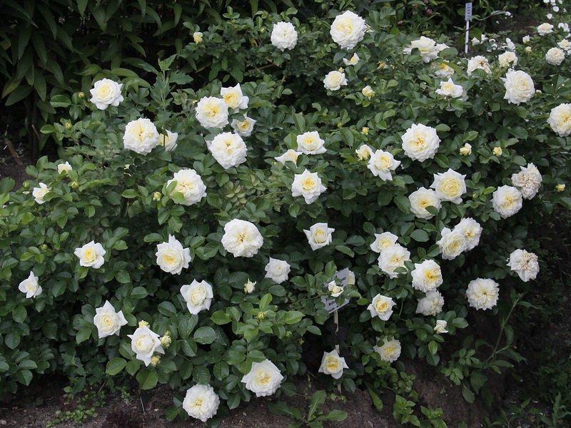 Розы почвопокровные «Сноу Карпет» на фото