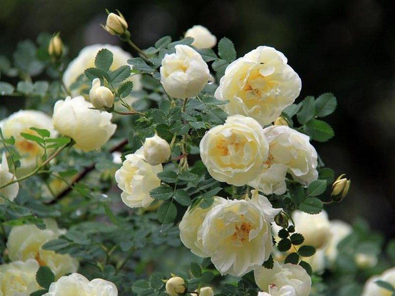 Мелкие махровые цветки раскрываются в июне-октябре (фото)