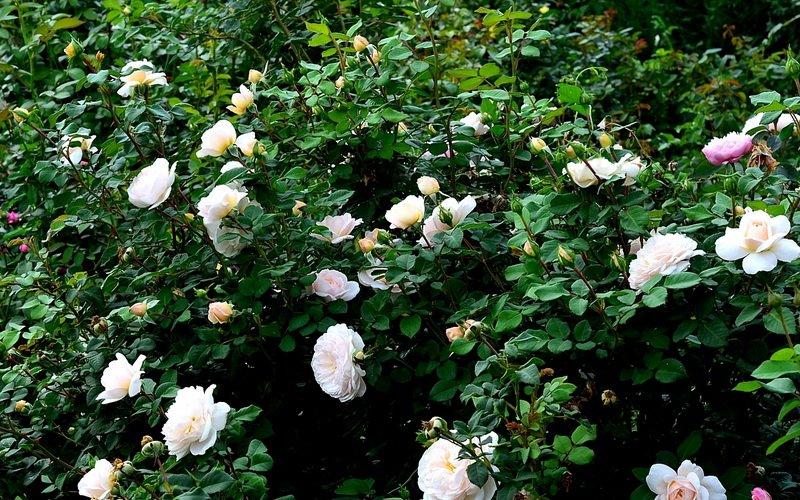 Лучшие сорта почвопокровных роз для Подмосковья