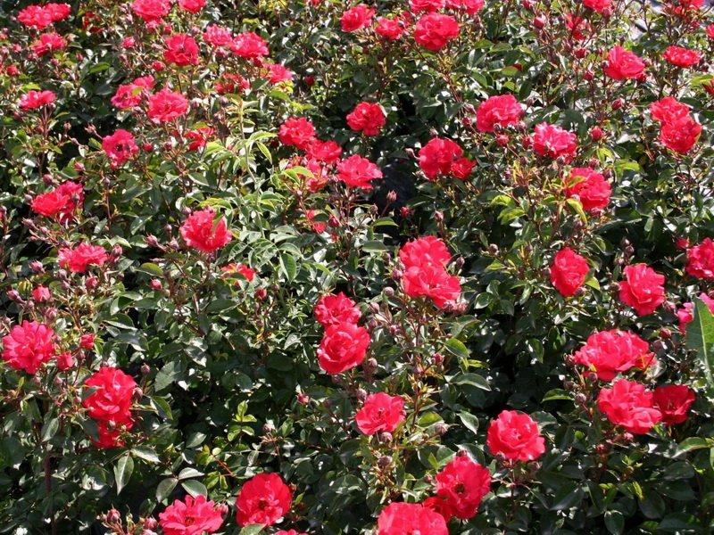Розы почвопокровные «Хайдекинд» на фото