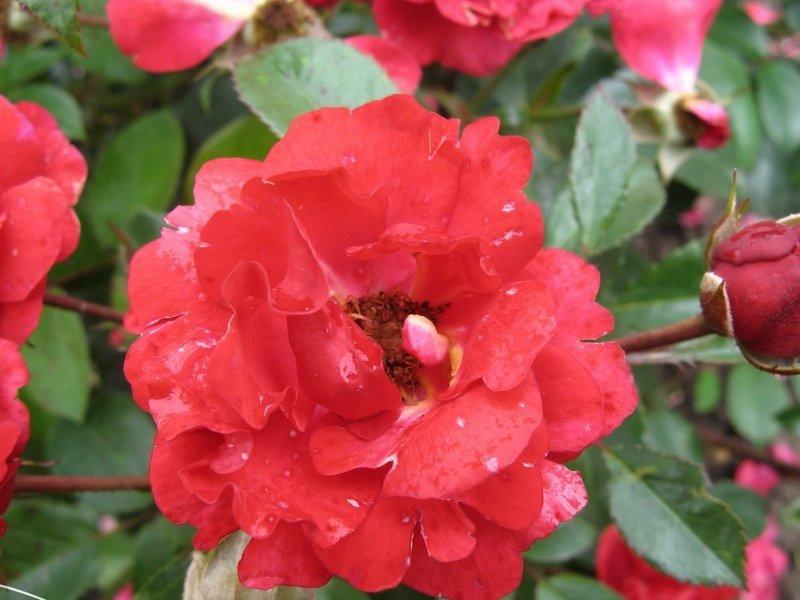 Цветки вишневые, нелиняющие, средние, махровые, плоские (фото)