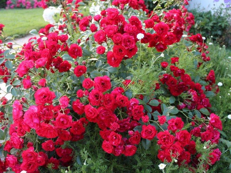 Розы почвопокровные «Ред Бланкет» на фото