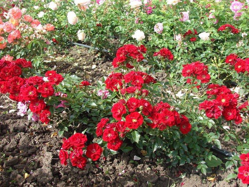 Розы почвопокровные «Ройял Бассино» на фото