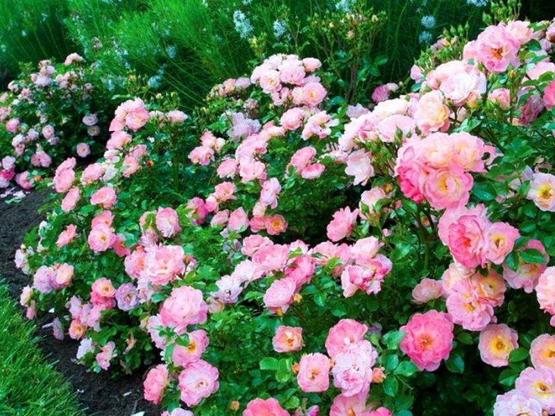 Розы почвопокровные «Боника» на фото