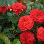 Уход за миниатюрными розами осенью